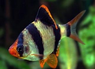 954d8e241796d4 Рибки для акваріума. Акваріумні рибки Львів. Каталог