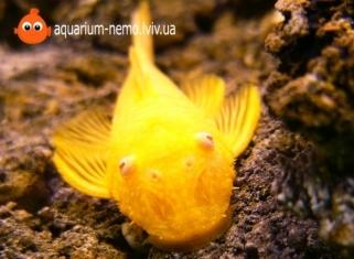 Анциструс Золотий - Ancistrus dolichopterus
