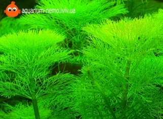 Амбулія Королівська - Limnophila Aquatica