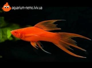 Меченосець Вилковий - Xiphophorus helleri