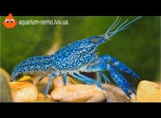 Рак флоридский - Procambarus clarkii