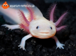 Аксолотль - Ambystoma mexicanum