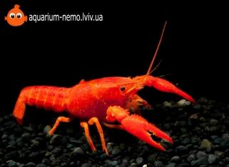 Рак Червоний - Procambarus clarkii