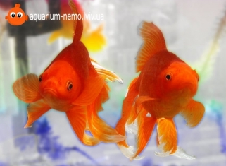 Золота рибка Асорті (Середня) - Carassius Auratus