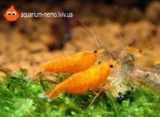 Креветка Оранжева Сакура - Orange sakura