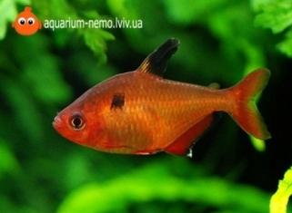 Мiнор (Червона тетра) - Hyphessobrycon callistus