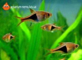 Расбора гiтероморфа - Trigonostigma heteromorpha