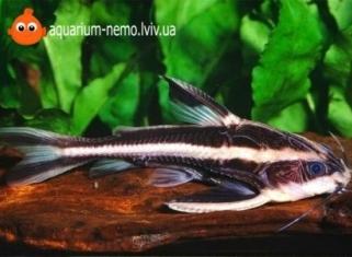 Платiдораc - Platydoras costatus