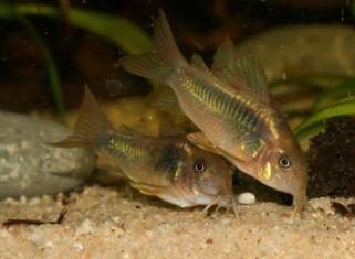 Сом золотистий - Corydoras aeneus