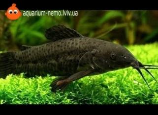Таракатум - Hoplosternum thoracatum