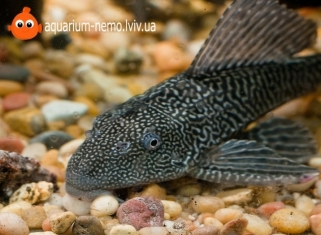 Плекостомус - Hypostomus plecostomus