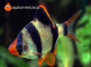 Барбус суматранський - Barbus Tetrazona