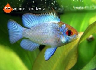 Апiстограма Голуба - Papiliochromis Ramirezi (ELECTRIC BLUE)