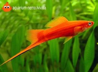Меченосець - Xiphophorus helleri