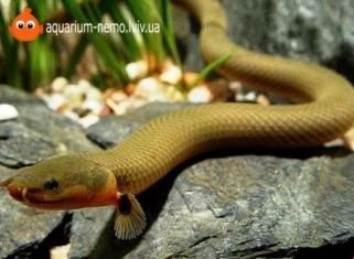 Каламаїхт Калабарський - Erpetoichthys calabaricus