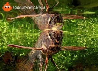 Риба Метелик - Pantodon buchholzi