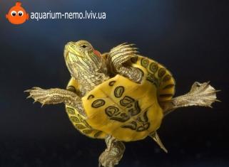 Черепаха Червоновуха - Pseudemys scripta