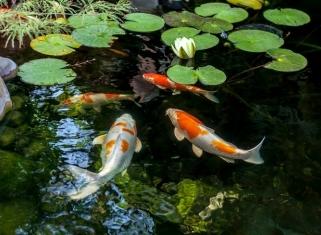 Ставкові риби