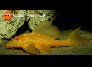 Плекостомус Золотий - Hypostomus plecostomus