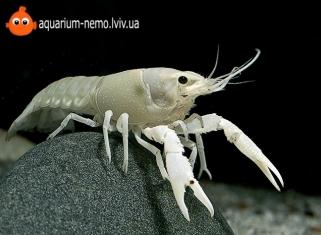 Рак Білий - procambarus clarkii