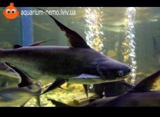 Акула Челенджер (Ларнауді) - Pangasius hypophthalmus