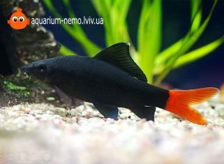 Лабео біколор (двоколірний) - Epalzeorhynchos (Labeo bicolor)