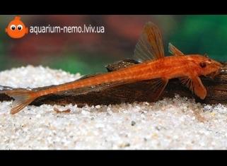 Лорикарія Червона - Rineloricaria sp. (red)