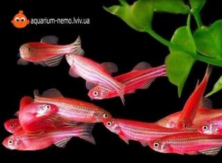 Данiо Рожевий - Danio roseus (Glo Fish)
