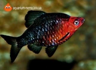Барбус чорний - Barbus nigrofasciatus