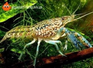 Рак Мармуровий - Procambarus sp.