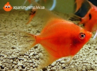 Скалярія Червона - Pterophyllum Red