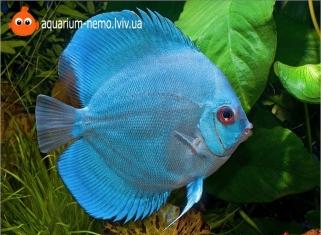 Дискус Голубий Діамант - Symphysodon discus