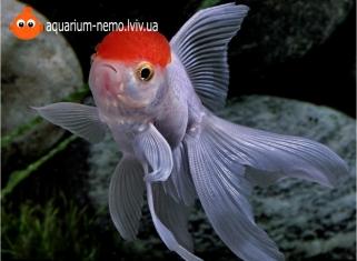 Червона Шапочка Оранда (Середня) - Carassius Auratus