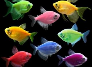 Тернеція - Glo Fish