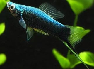 Меченосець Чорний - Xiphophorus Helleri