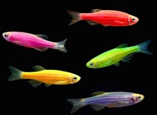 Данiо - Glo Fish