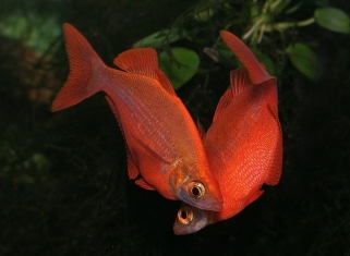 Глоссолепіс Червоний - Glossolepsis incisus