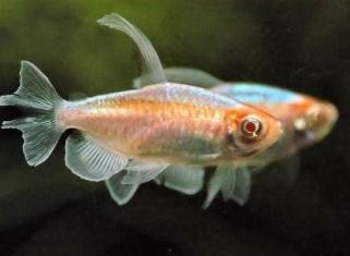 Конго розовий - Phenacogrammus interruptus, albino