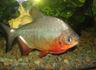 Червонйи Паку - Piaractus brachypomus