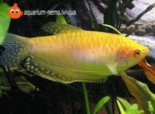 Гурамi золотий - Trichogaster Leeri (gold)