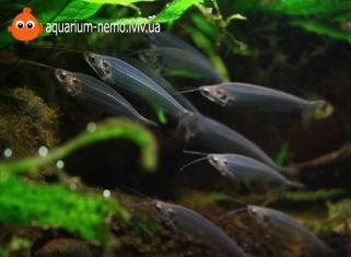 Скляний сом - Kryptopterus bicirrhis