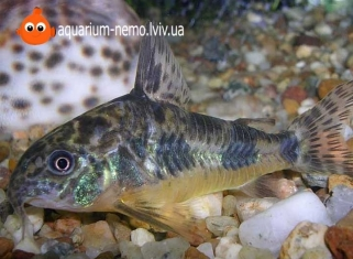 Сом крапчатий - Corydoras paleatus