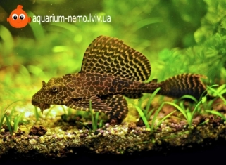 Птерiгоплiхт парчовий - Glyptoperichthys gibbiceps