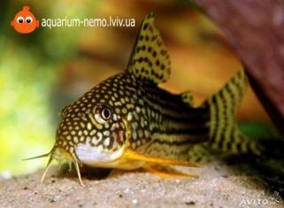 Сомик Штерба - Corydoras Sterbai