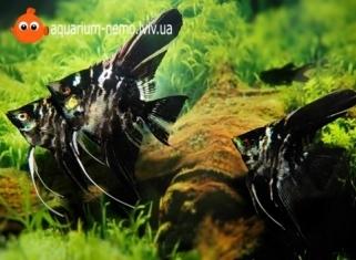 Скалярiя Мармурова - Pterophyllum scalare