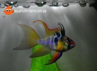Апiстограмма Рамiрезi (Вуалева) - Papiliochromis Ramirezi