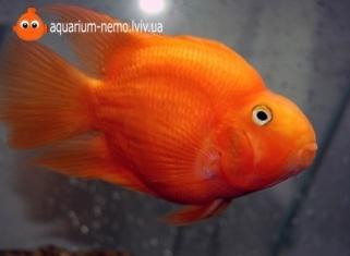 Папуга червониий - Red Parrot