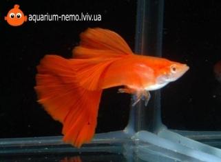 Гуппі Червоне Скло - Poecilia Reticulata (Red Glass)