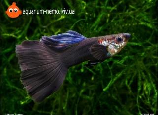 Гуппі Чорний Принц - Poecilia Reticulata