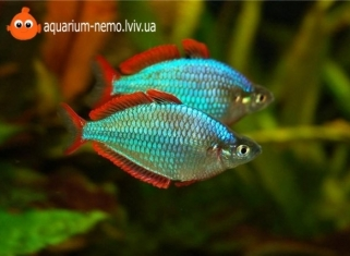Меланотенія Неонова - Melanotaenia Praecox